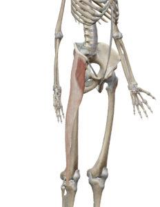 大腿筋膜張筋