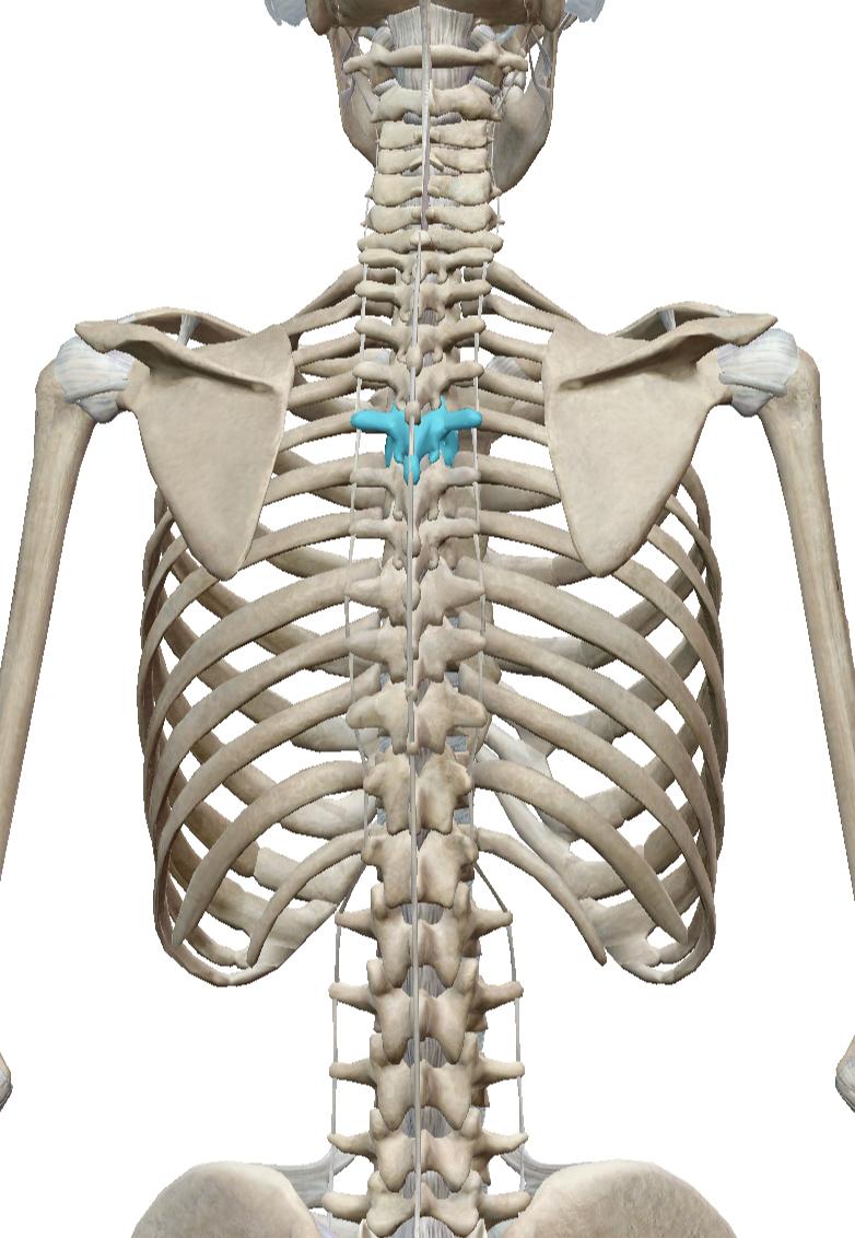 青いところが第5胸椎