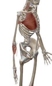 胃と関連する筋肉